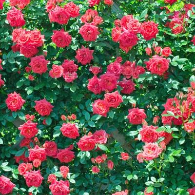 「バラの壁」の写真素材