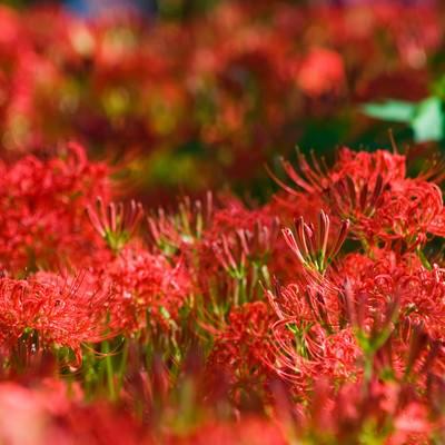 「群生する彼岸花」の写真素材
