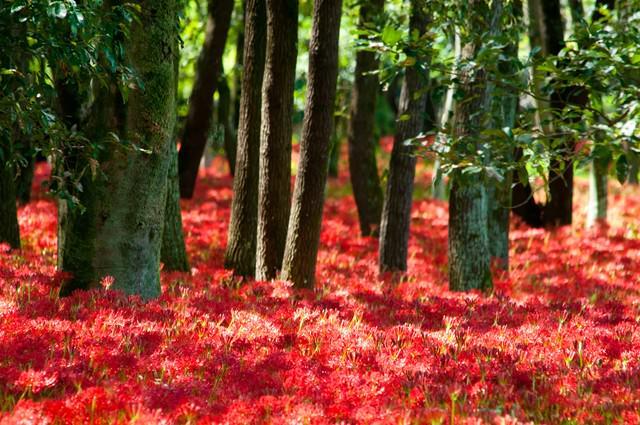 彼岸花に埋もれる木々の写真