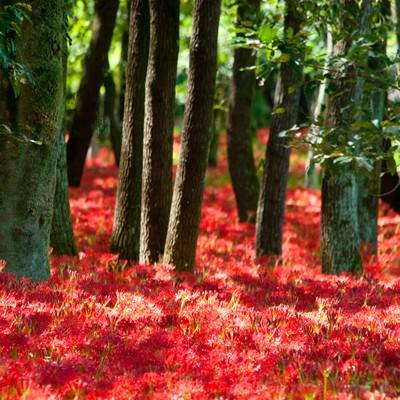「彼岸花に埋もれる木々」の写真素材