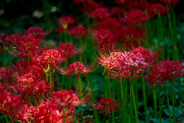 暗闇の中で咲く彼岸花の写真