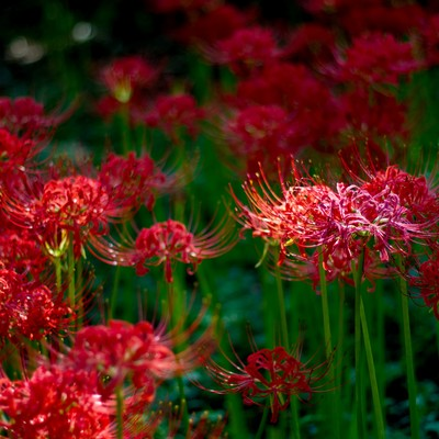 「暗闇の中で咲く彼岸花」の写真素材