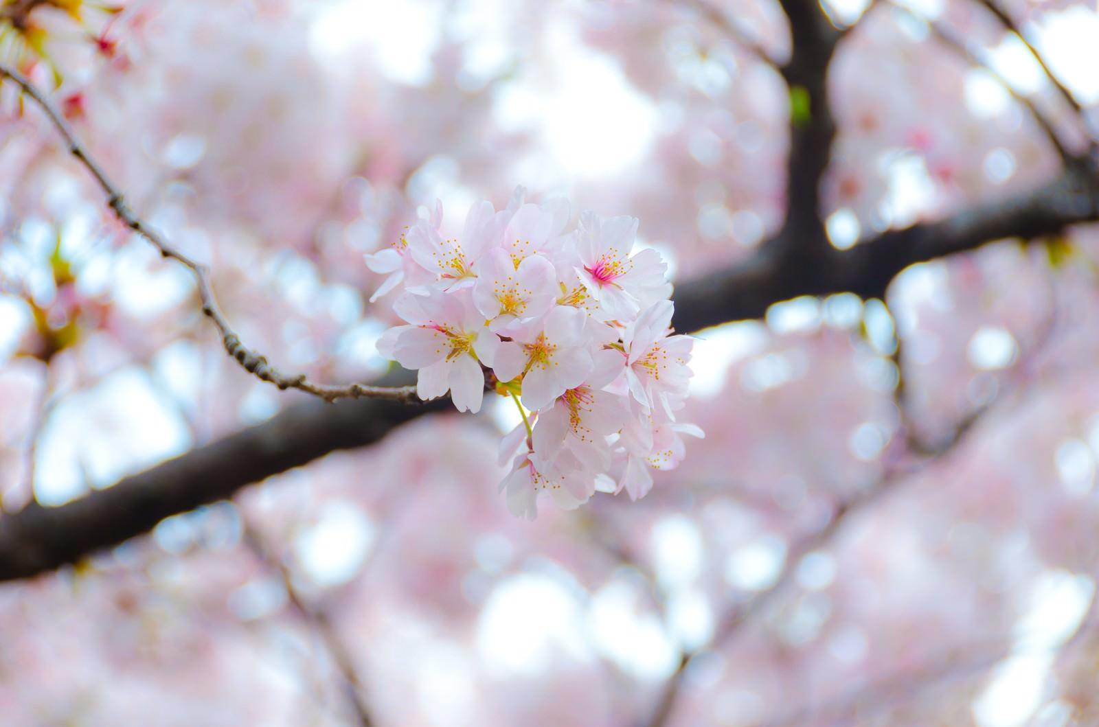 「満開の桜の花」の写真