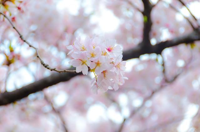 満開の桜の花の写真