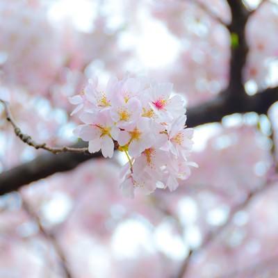 「満開の桜の花」の写真素材