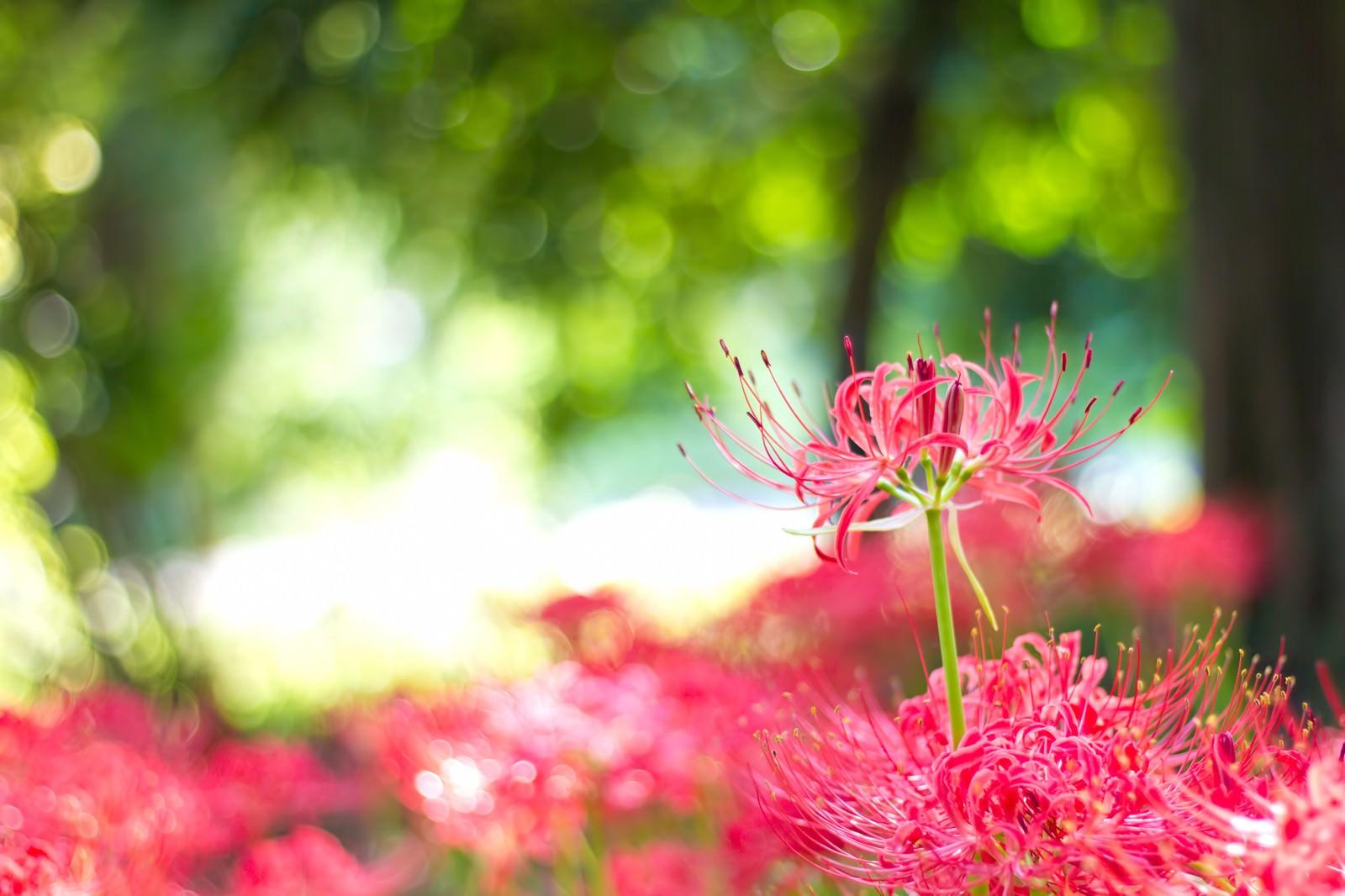 「木漏れ日と彼岸花」の写真