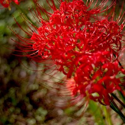 「暗がりで咲く美しい彼岸花」の写真素材