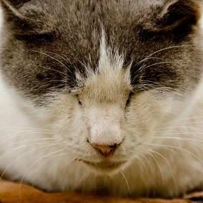 「猫の寝顔」の写真素材