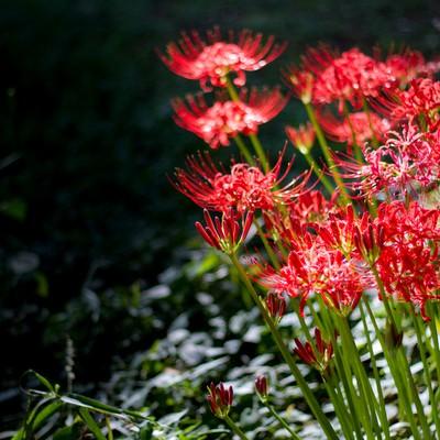 隅でそっと咲く彼岸花の写真