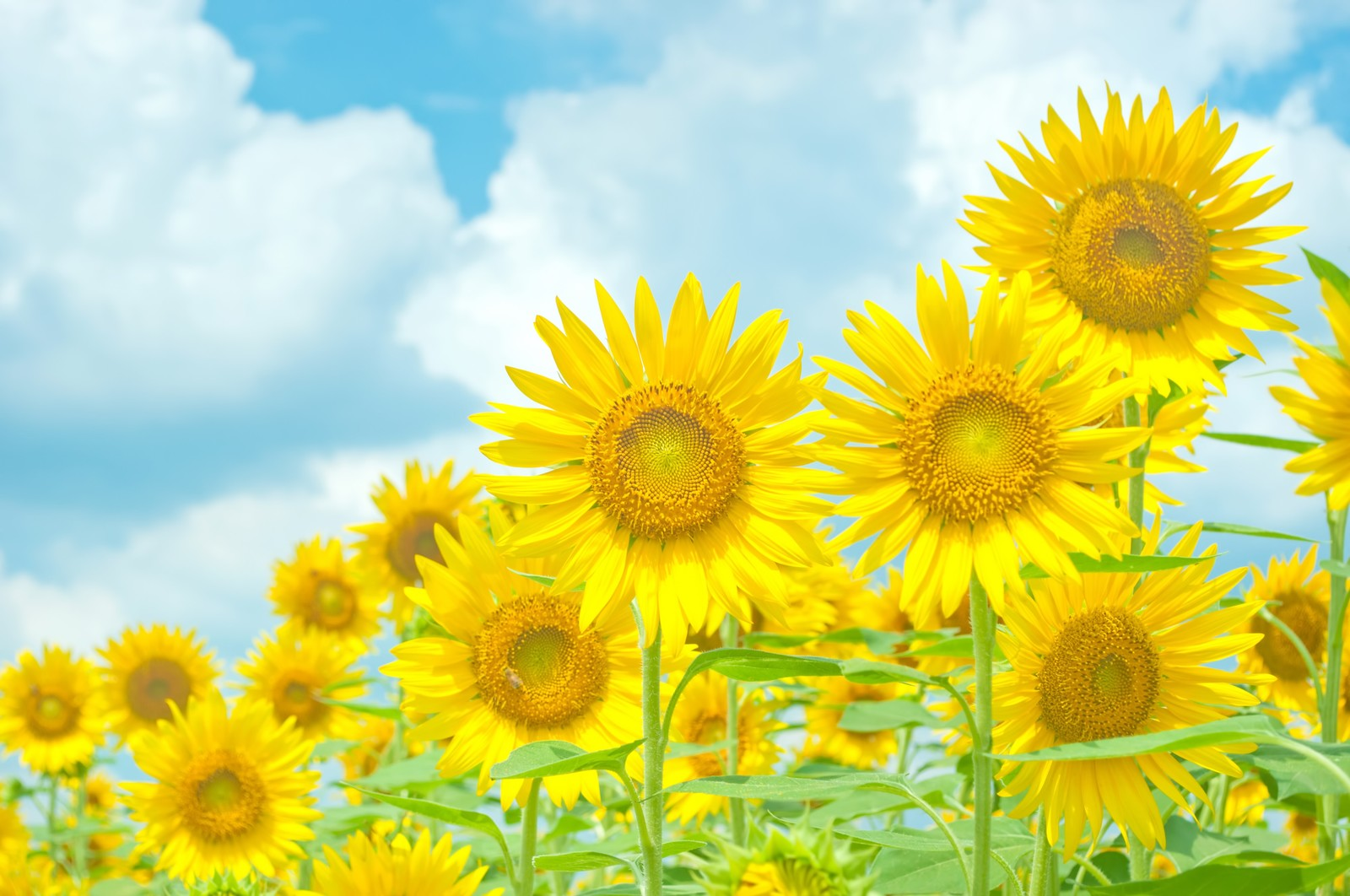 「青空と黄色い向日葵」の写真