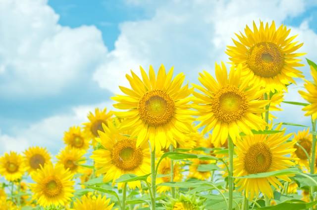青空と黄色い向日葵の写真
