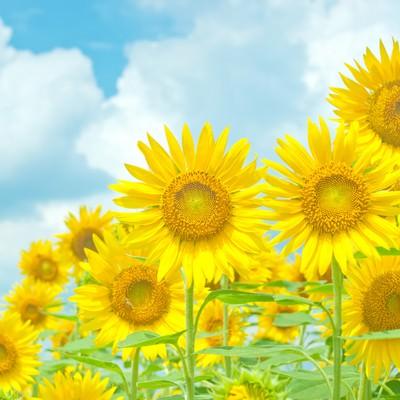 「青空と黄色い向日葵」の写真素材