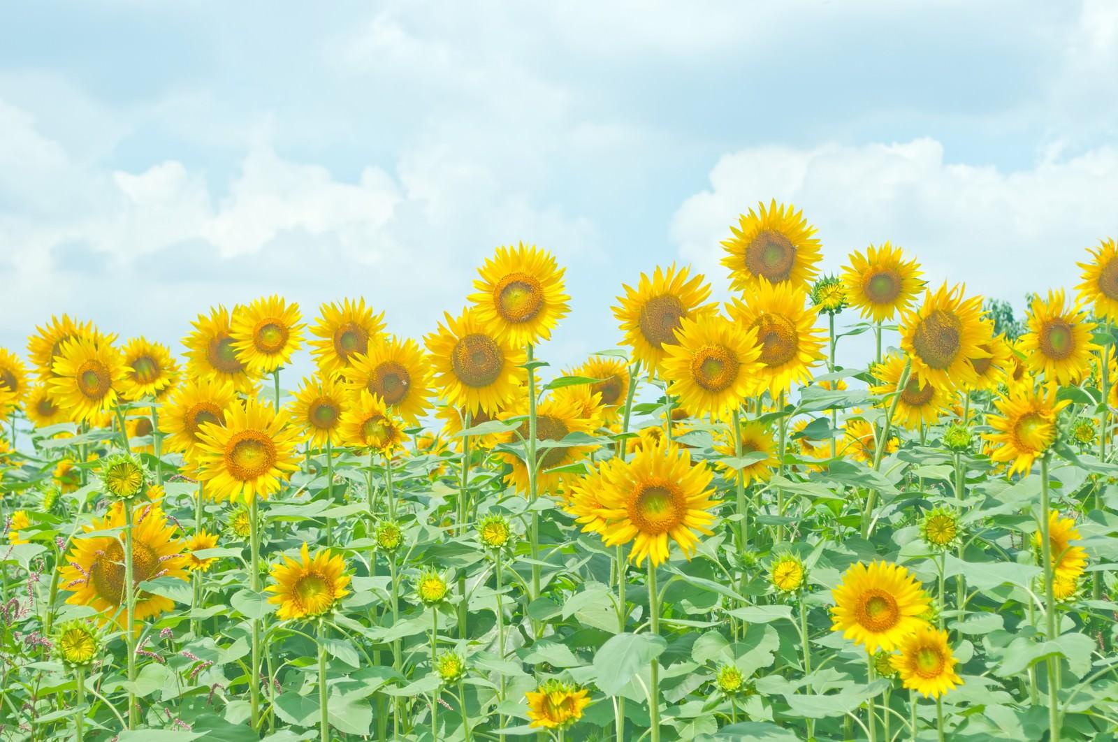 「座間の向日葵座間の向日葵」のフリー写真素材を拡大