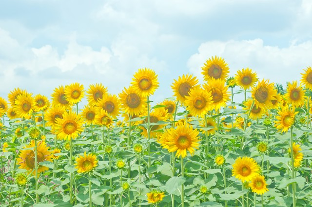「座間の向日葵」のフリー写真素材