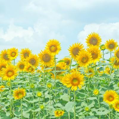 「座間の向日葵」の写真素材
