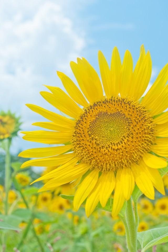 大きな向日葵の写真
