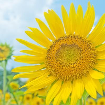 「大きな向日葵」の写真素材