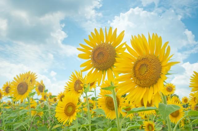 夏空と向日葵の写真