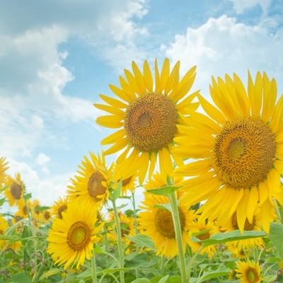 「夏空と向日葵」の写真素材
