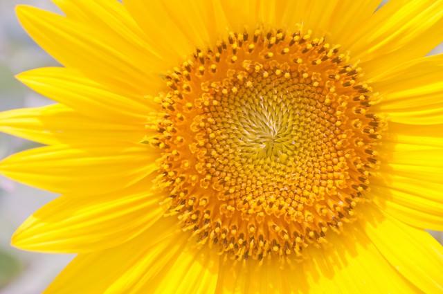向日葵の花びらの写真