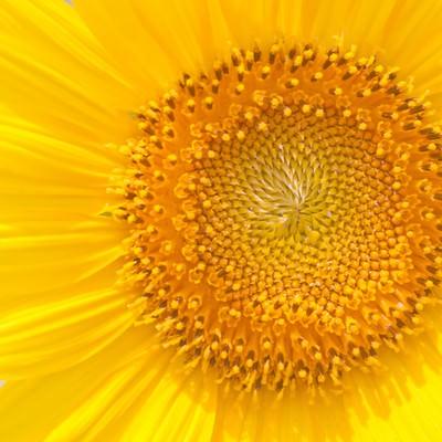 「向日葵の花びら」の写真素材