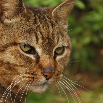 睨みつける猫の写真