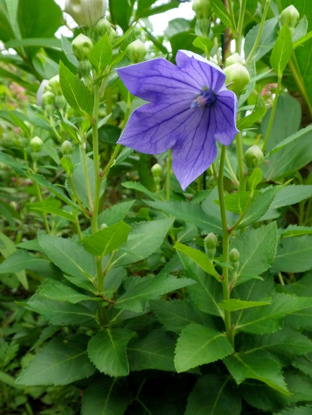 紫の桔梗の写真