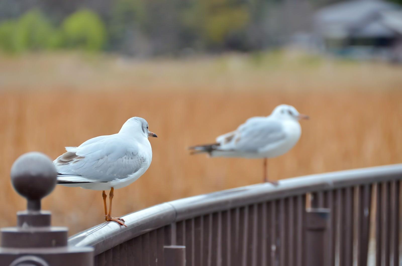 「水鳥の恋」の写真