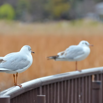 「水鳥の恋」の写真素材