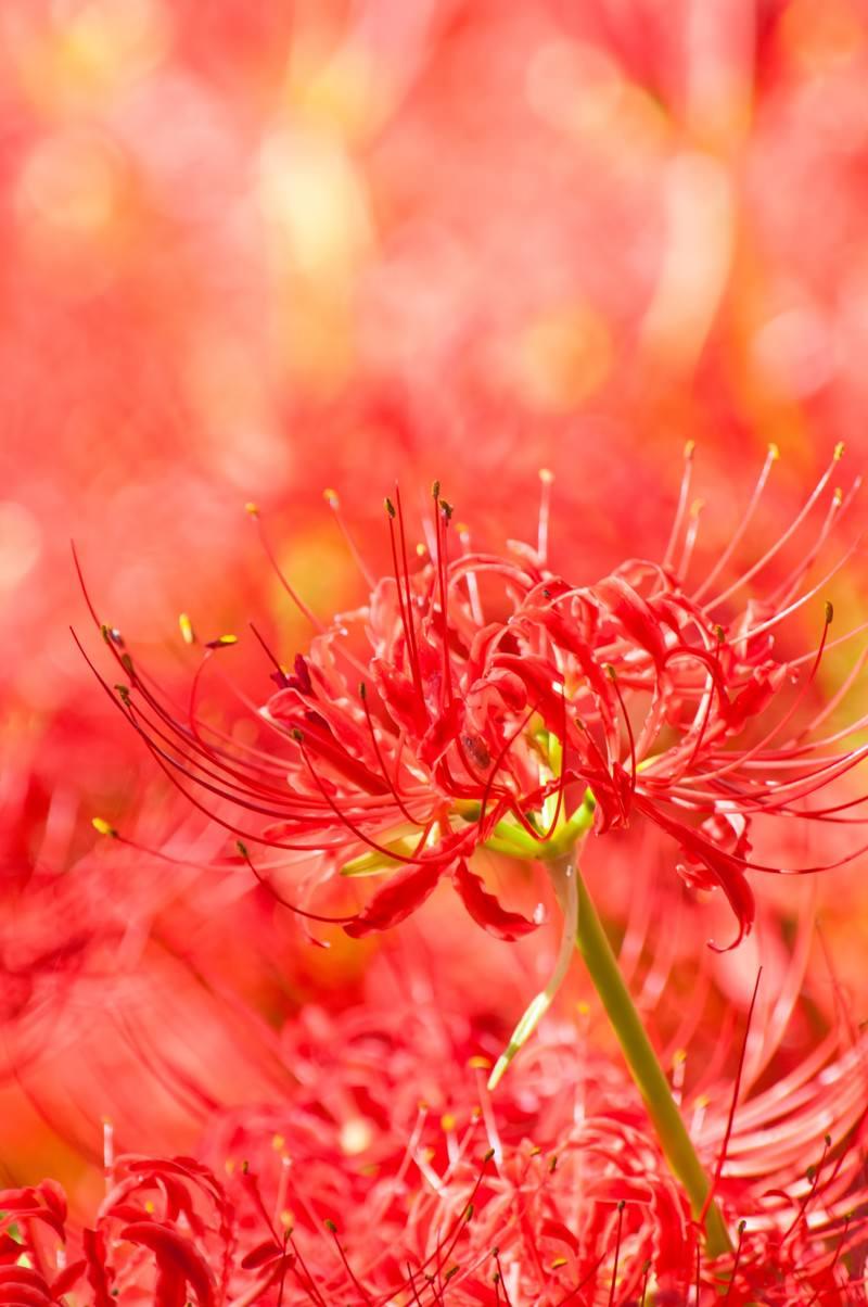 「赤く満開の彼岸花」の写真