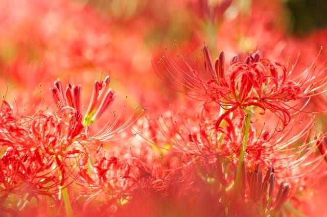赤く染まる彼岸花の写真