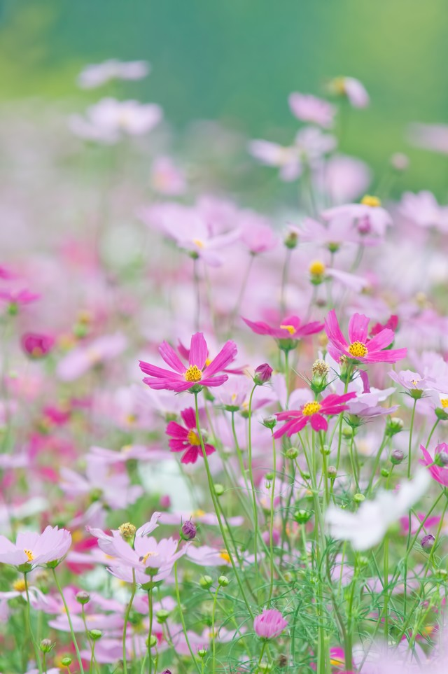 淡いコスモスの花の写真