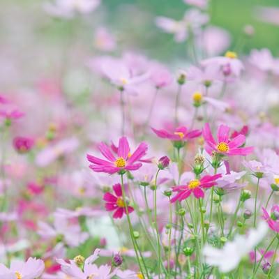 「淡いコスモスの花」の写真素材