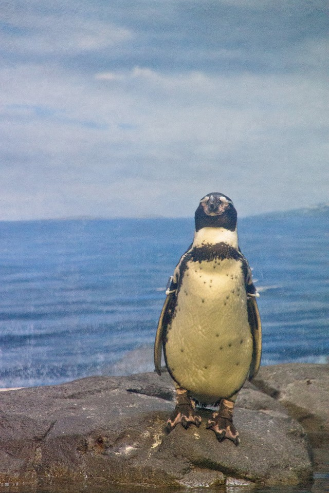 直立する水族館のペンギンの写真
