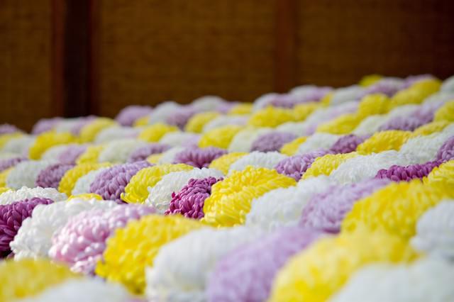 段々に咲いている菊の写真