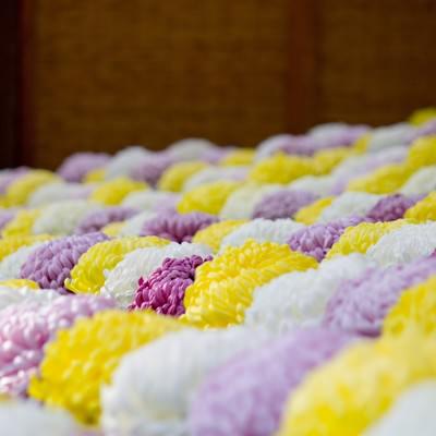 「段々に咲いている菊」の写真素材