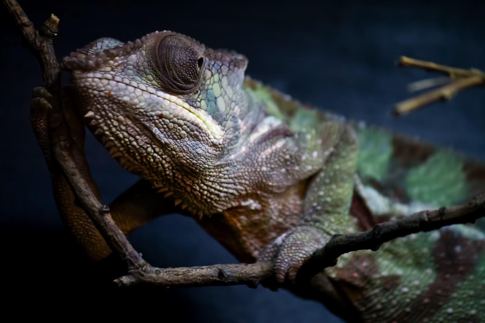 「枝に捕まるカメレオン」の写真