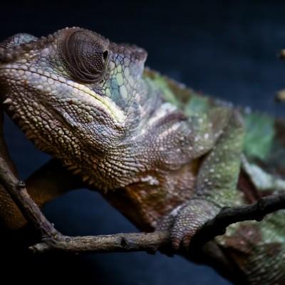 「枝に捕まるカメレオン」の写真素材