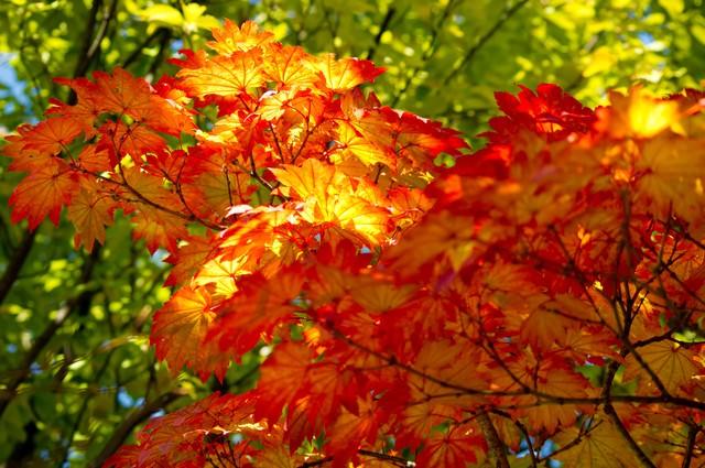 ハウチワカエデの黄葉の写真