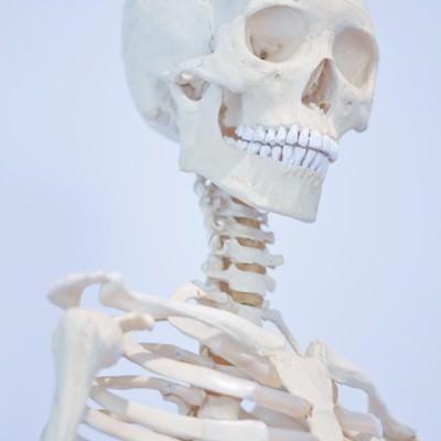 人骨模型の写真