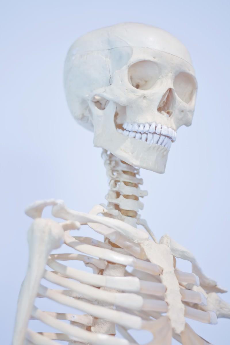 「人骨模型」の写真
