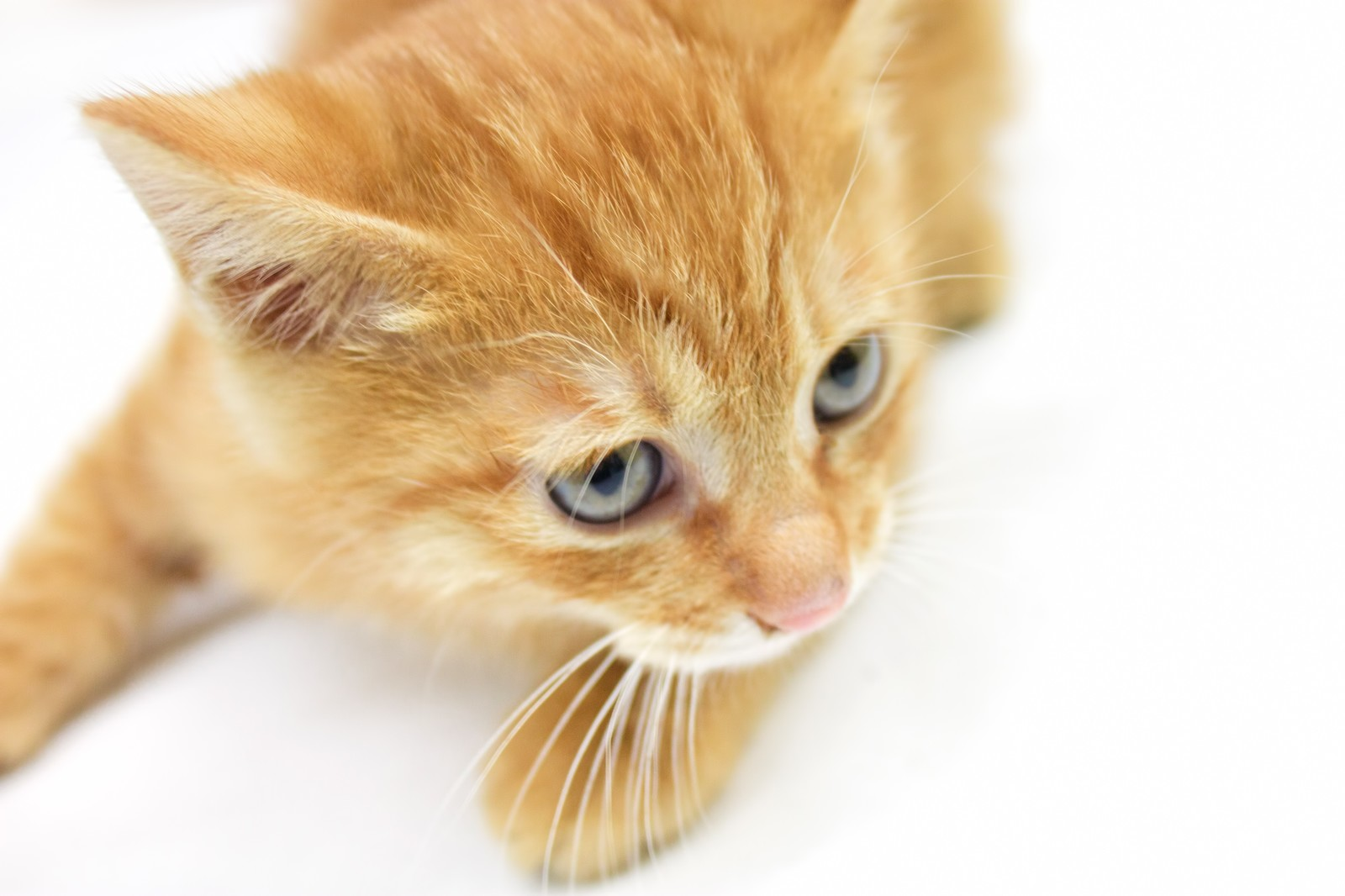 「可愛い子猫」