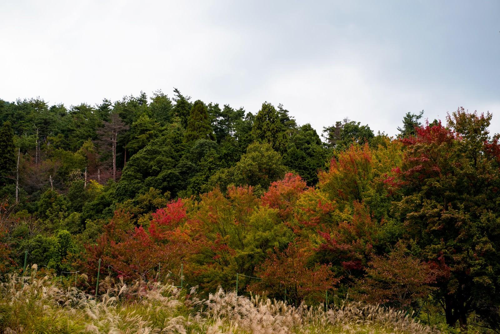 「紅葉し始めた木々とすすき紅葉し始めた木々とすすき」のフリー写真素材を拡大