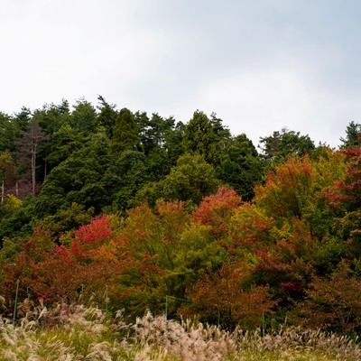 黄葉し始めた木々とすすきの写真