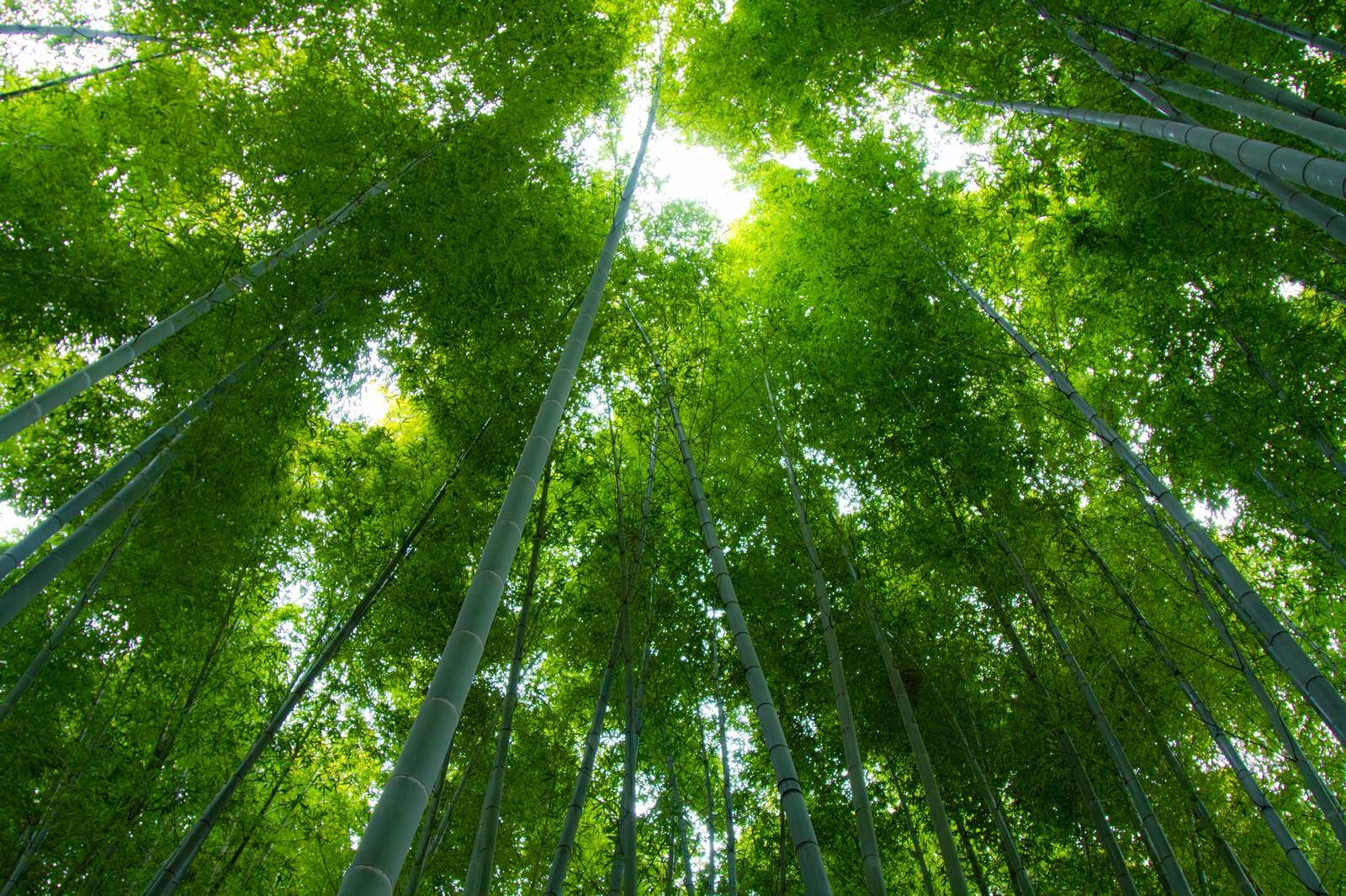 「見上げる緑の竹林」の写真