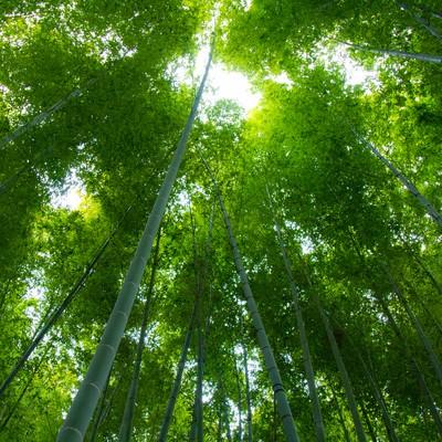 見上げる緑の竹林の写真