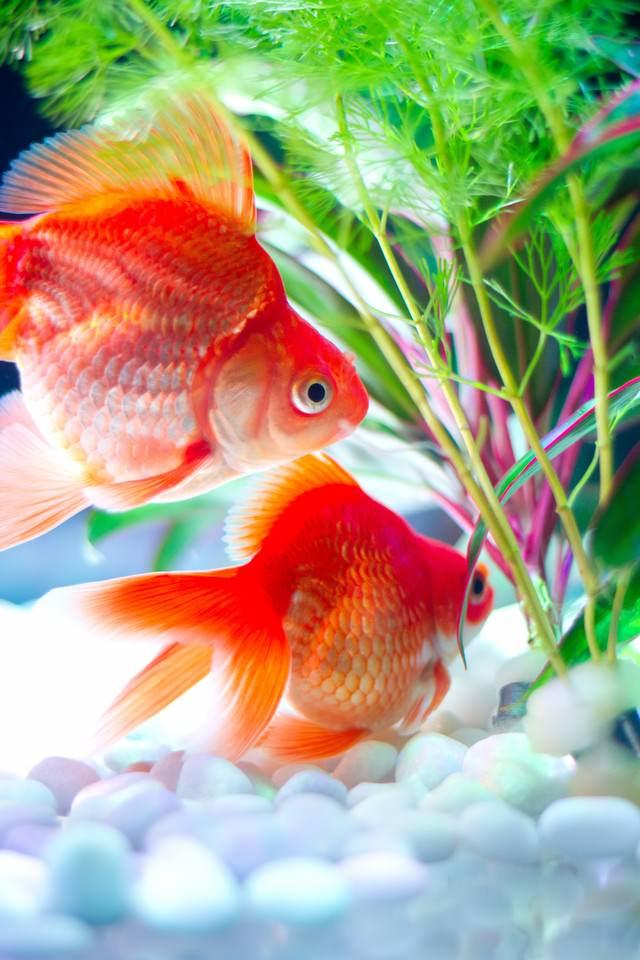 水草と金魚の写真