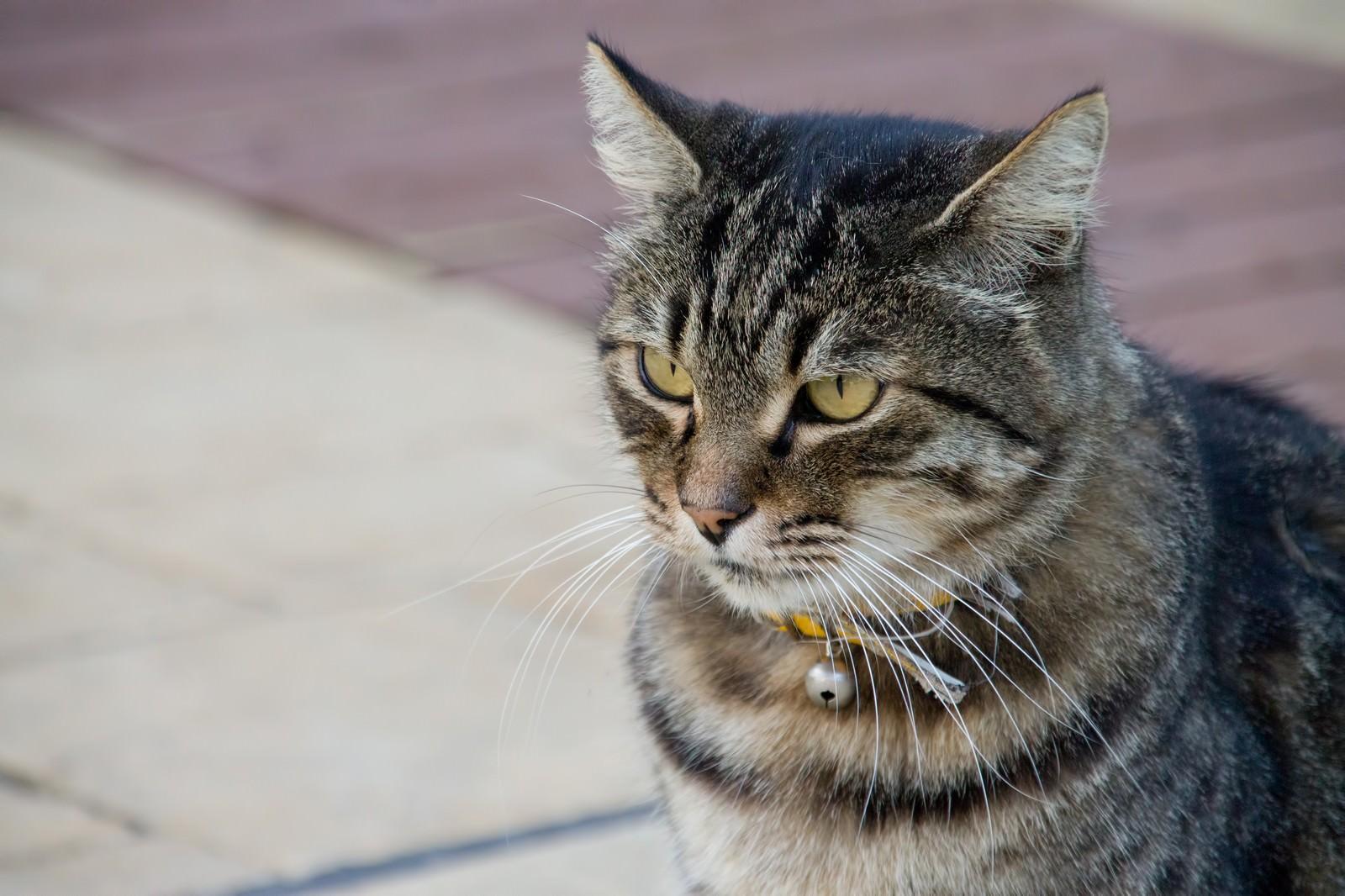 「凛々しい顔つきの猫」の写真