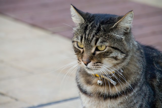 凛々しい顔つきの猫の写真