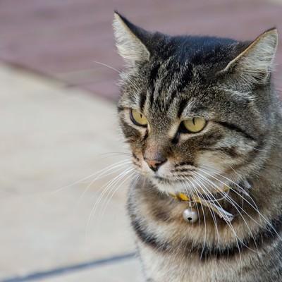 「凛々しい顔つきの猫」の写真素材